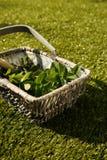 Свеже выбранные листья мяты в плетеной корзине Стоковые Изображения RF