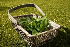 Свеже выбранные мудрые листья, officinalis Salvia, в плетеной корзине Стоковые Изображения RF