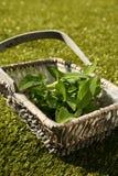 Свеже выбранные мудрые листья, officinalis Salvia, в плетеной корзине Стоковое Изображение RF