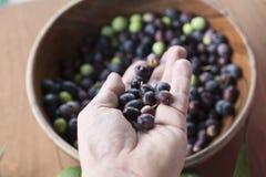 Свеже выбранные оливки Стоковые Фото