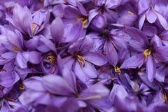 Свеже выбранные цветки шафрана Стоковое фото RF