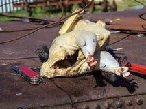 Свеже общипанный цыпленок Стоковые Фото