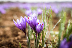 Свеже раскрытые цветки шафрана Стоковые Фото