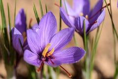 Свеже раскрытые цветки шафрана Стоковые Изображения