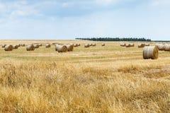 Свеже сено отрезка напиханное в крены лежит и сушит на поле Стоковое фото RF