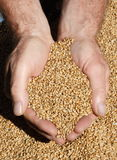 свеже сжатая пшеница Стоковые Изображения RF