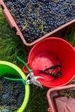 Свеже сжатые красные виноградины в pannier Стоковая Фотография RF