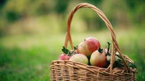 Свеже сжатые яблоки Яблоки в траве сток-видео