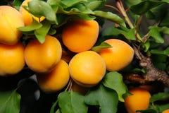 Свежие абрикосы на дереве стоковое фото rf