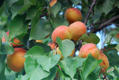 Свежие абрикосы Стоковое Изображение