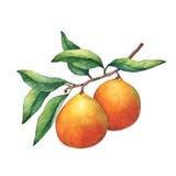 Свежие апельсины цитрусовых фруктов на ветви с плодоовощами и листьями зеленого цвета иллюстрация вектора