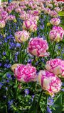Свежие белые и розовые тюльпаны стоковое изображение