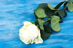 Свежие белые розы на голубой деревянной предпосылке Стоковые Фото