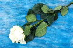 Свежие белые розы на голубой деревянной предпосылке Стоковая Фотография RF