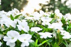 Свежие белые цветки на зоре стоковая фотография