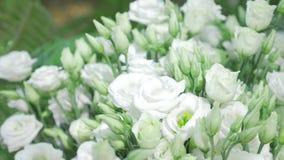Свежие белые розы с предпосылкой зеленой весны природы листьев солнечной Мягкие фокус и bokeh акции видеоматериалы