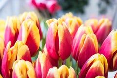 Свежие большие красные желтые тюльпаны Стоковая Фотография RF
