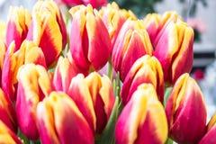 Свежие большие красные желтые тюльпаны Стоковое Изображение RF