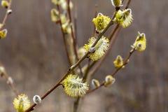 Свежие бутоны вербы на ветви весной стоковые фото