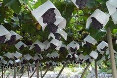 Свежие виноградины от фермы стоковое фото rf