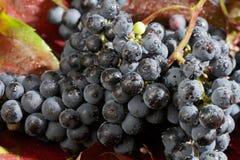 свежие виноградины Стоковые Изображения