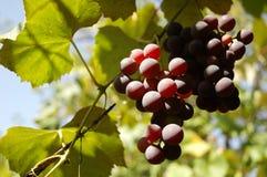 свежие виноградины стоковое изображение rf