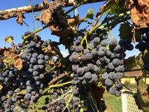 свежие виноградины Стоковое Фото