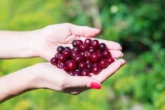 Свежие вишни в руке женщины Стоковое фото RF