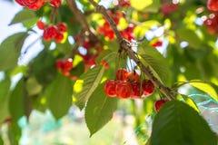 Свежие вишни на дереве на летний день Стоковые Фото