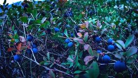 Свежие голубики ягоды в лесе Стоковая Фотография RF