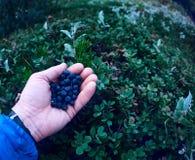 Свежие голубики ягоды в руках человека на предпосылке зеленого цвета выходят в лес Стоковая Фотография