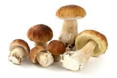 Свежие грибы плюшки пенни на белой предпосылке Стоковые Фото