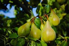 Свежие груши на ветви Стоковая Фотография