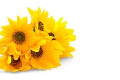 Свежие желтые цветки на белой предпосылке стоковое изображение rf