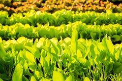 Свежие заводы салата на поле, готовом быть сжатым Стоковая Фотография