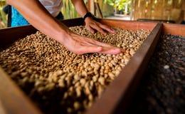 Свежие зажаренные в духовке кофейные зерна лить из приданных форму чашки рук Стоковая Фотография RF