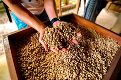 Свежие зажаренные в духовке кофейные зерна лить из приданных форму чашки рук Стоковое Фото