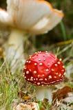свежие запятнанные грибки Стоковые Изображения RF
