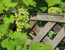Свежие зеленые виноградины на старой деревянной предпосылке загородки с космосом экземпляра стоковое фото