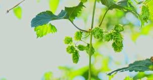 Свежие зеленые конусы хмеля для пива сток-видео