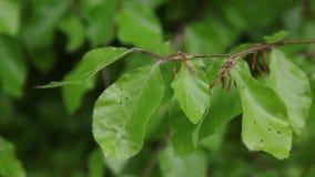 Свежие зеленые листья европейского дерева бука двигая нежно с днем ветерка весной сток-видео