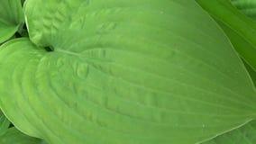 Свежие зеленые листья завода хосты в саде Стрельба видео HD с steadicam Панорама замедленного движения  сток-видео