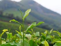 Свежие зеленые листья завода чая - камелии Sinensis - в имуществе чая над холмами Стоковое Фото