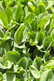 Свежие зеленые листья и зацветая ландыш Зацветая сезон, цветки раньше весной стоковое изображение rf