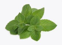 Свежие зеленые листья мяты Стоковые Фото