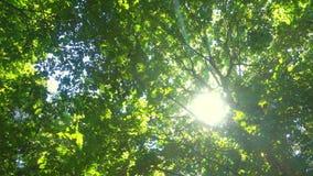 Свежие зеленые листья на красивом солнечном дне, весне или предпосылке лета сезонной видеоматериал