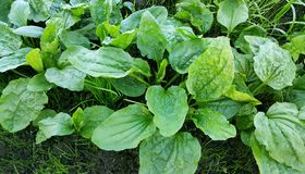 Свежие зеленые листья подорожника Стоковое Изображение