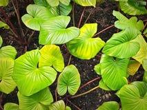 Свежие зеленые листья Сердц-формы в саде Стоковые Изображения