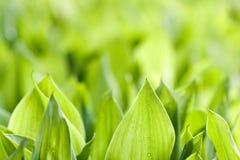 свежие зеленые листья Стоковые Изображения