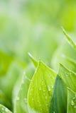 свежие зеленые листья Стоковые Фотографии RF